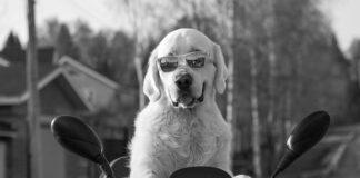 pies na skuterze